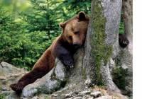 Медведь в подпитии с пьяных ягод